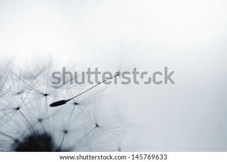 Dandelion flower. Extreme closeup with soft focus, beautiful nature details  - stock photo