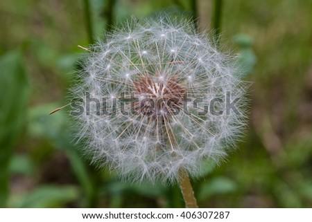 Dandelion flower ready to emit their seeds  - stock photo