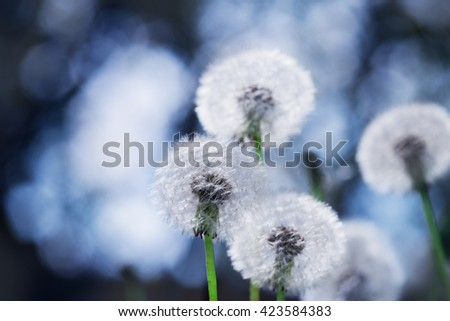 dandelion flower with blurred background - stock photo