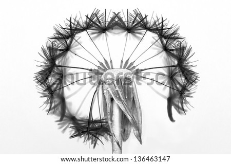 Dandelion flower with partially blown pappus on white background - stock photo