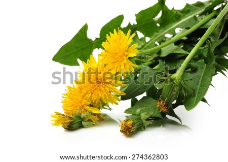 Dandelion flowers  Isolated on white. - stock photo