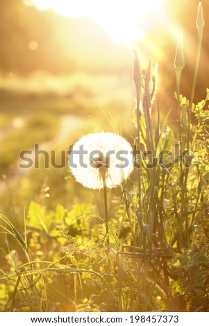 Dandelion flowers on green spring meadow and sunrise. - stock photo