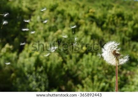 Dandelion fluff - stock photo