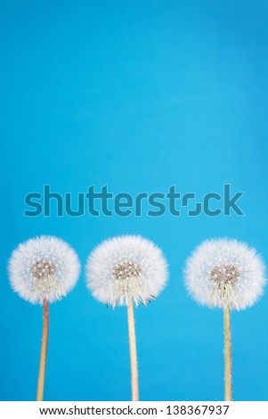 dandelion fluff or seeds on a blue background - stock photo