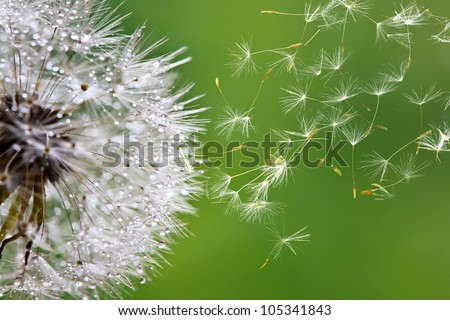 dandelion fuzz swelled drops - stock photo