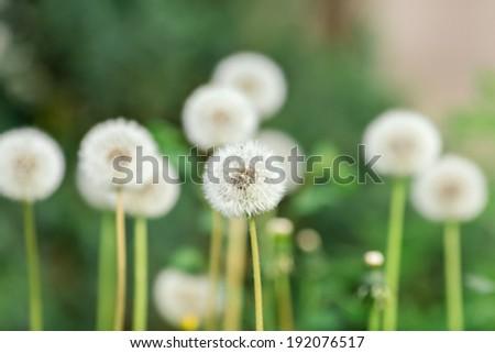 Dandelion head on green background, closeup view  - stock photo