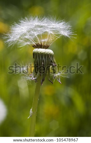 Dandelion head on the spring meadow. - stock photo