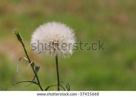 Dandelion in a field of grass - stock photo
