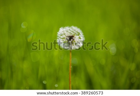 Dandelion in a meadow on a background of green grass. Selective focus, close-up. - stock photo
