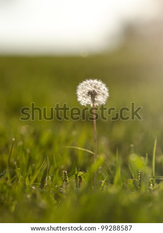 dandelion in field during sunset - stock photo