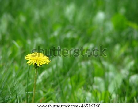 Dandelion In Grass - stock photo