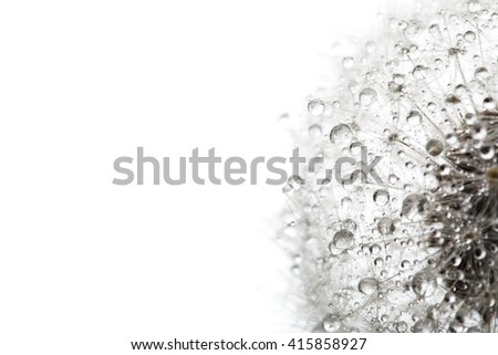 Dandelion in the dew drops isolated on white background, macro. Place for text. Nature and eco concept. - stock photo