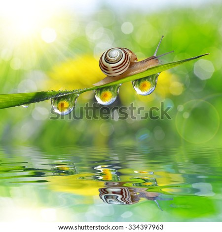 Dandelion in the drops of dew on the green grass and snail. Nature background. - stock photo