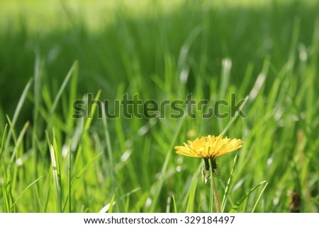 Dandelion in the grass - stock photo