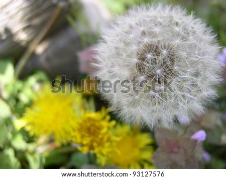 dandelion in two life stages - stock photo