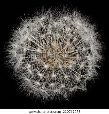 Dandelion is also known as blowball, cankerwort, doon-head-clock, witch's gowan, milk witch, lion's-tooth, yellow-gowan, Irish daisy, monks-head, priest's-crown and puff-ball. - stock photo
