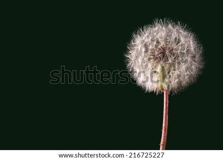 Dandelion isolated - stock photo