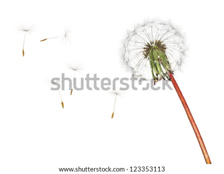 Dandelion isolated on white background - stock photo