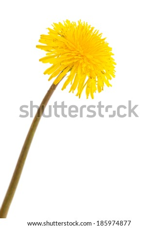 dandelion isolated on white background - stock photo