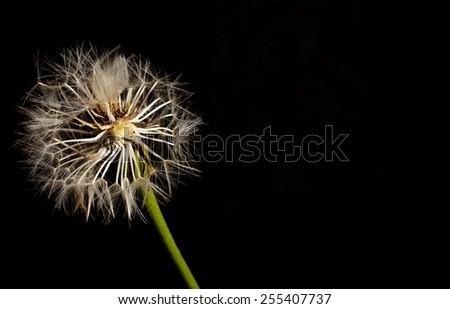 dandelion on black background - stock photo