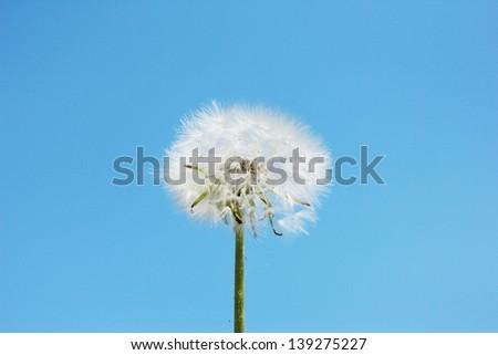 Dandelion on blue sky background - stock photo