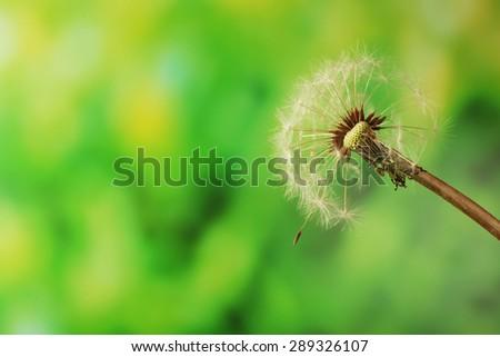 Dandelion on green blurred background - stock photo