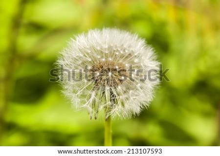 Dandelion on green grass background closeup - stock photo