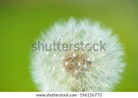 dandelion on the green background - stock photo