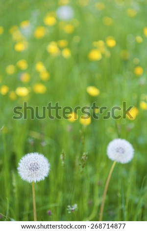Dandelion on the meadow - stock photo