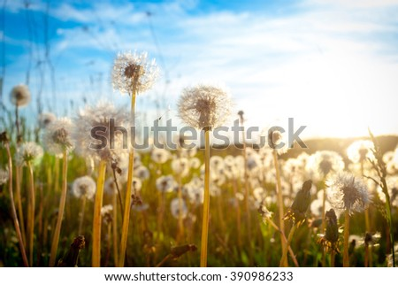 Dandelion on the meadow at sunlight  - stock photo