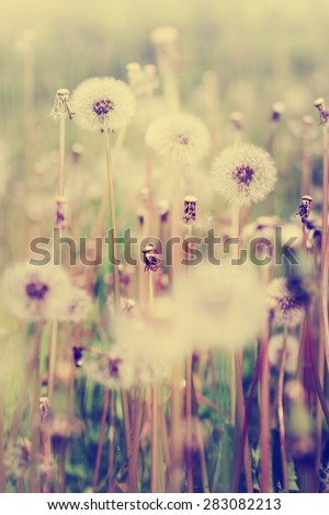 Dandelion on the meadow at sunny day - stock photo