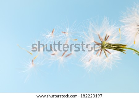 dandelion plant with seeds isolated on blue - stock photo