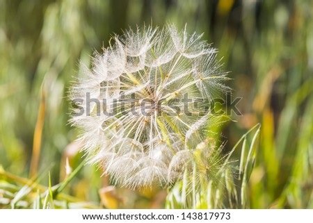 Dandelion seed - stock photo