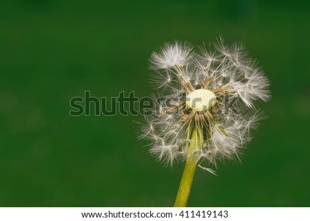 Dandelion Seed Blowball at Wind - stock photo