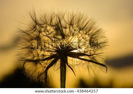 Dandelion seed head against setting sun - stock photo