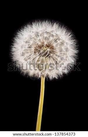Dandelion seed head closeup: exquisite detail of Taraxacum officinale, fresh specimen. Sharp from front through back of the puff ball due to stacked photos. Isolated on black.  - stock photo