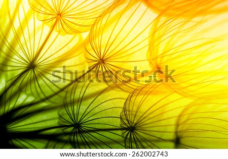 Dandelion seed in golden sunlight - stock photo