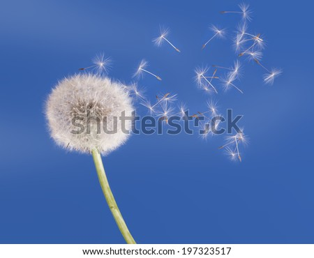 Dandelion seedhead aka clock - time passing metaphor. Nature. - stock photo