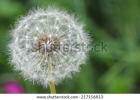 Dandelion - seeds   - stock photo