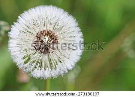 Dandelion - seeds  - stock photo