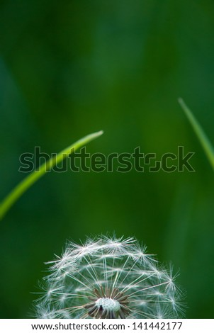 Dandelion seeds and grass - stock photo