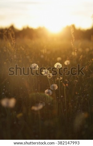 Dandelion Seeds Blowball - stock photo