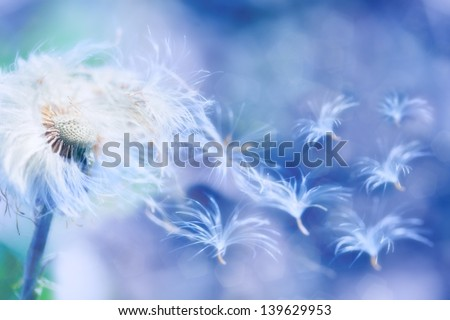 dandelion seeds blowing wind, dreamy magical image with blue tones - stock photo