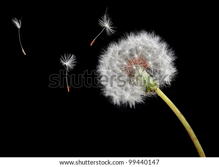 Dandelion seeds floating on the wind - stock photo