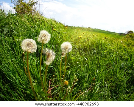 Dandelion seeds in a green field symbol of freedom to wish - stock photo