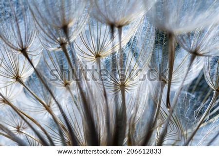 dandelion seeds in close up - stock photo
