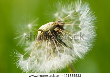 Dandelion seeds in close up. Natural seeds background - stock photo