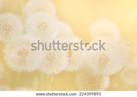 Dandelion seeds in the early morning sunlight. - stock photo