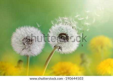 Dandelion seeds in the morning sunlight blowing away across a fresh green background - stock photo