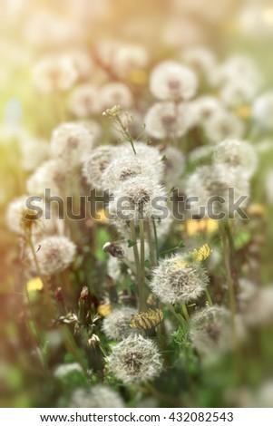 Dandelion seeds lit by sunlight - stock photo